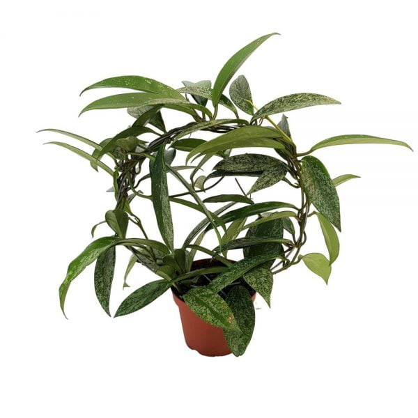 Hoya carnosa pe arc