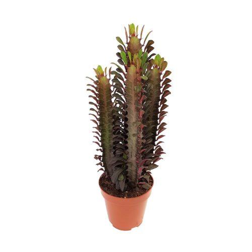 Euphorbia Rubra cactus