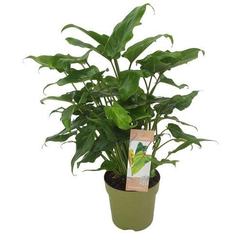 Philodendron - Xanadu D 15