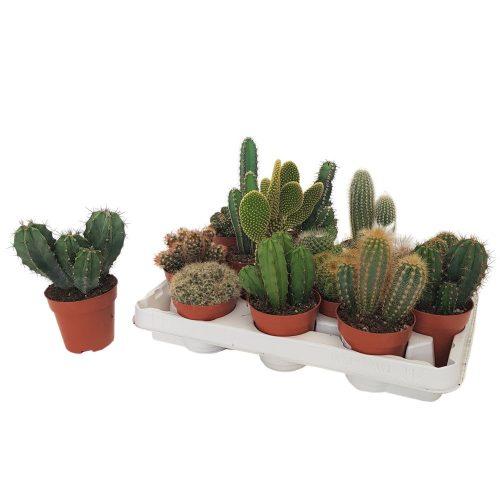 Cactus Mixt D9