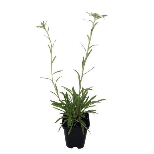 Leontopodium - Floare de colt