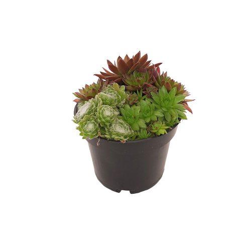 Plante mixte pentru rocarie