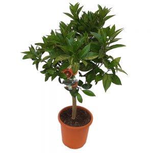 Citrus Sinensis Arancio Sanguinella
