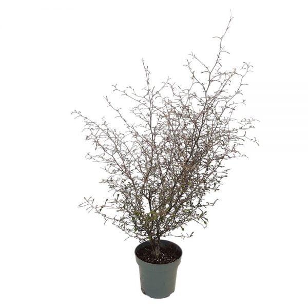 Corkoia Cotoneaster