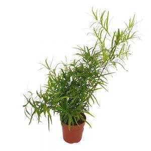 Asparagus falcatus D12