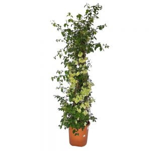 Bougainvillea White - Floare de hartie