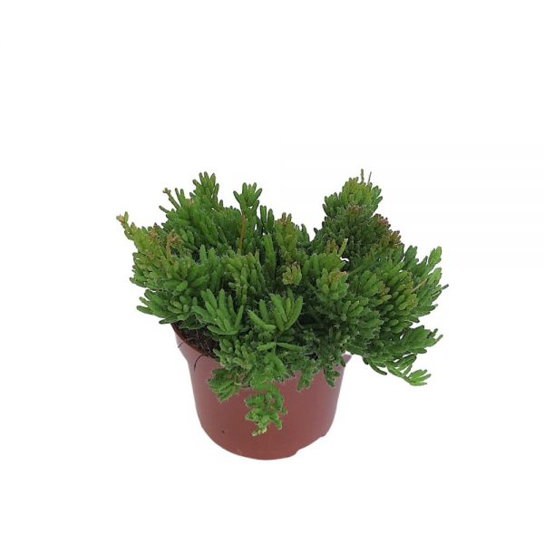 Rhipsalis - Mesembryanthemoid - Hillplant