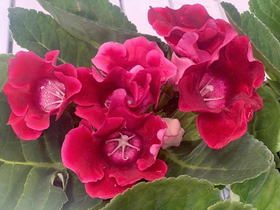 Gloxinia, sinningia - Floraria Trias 1
