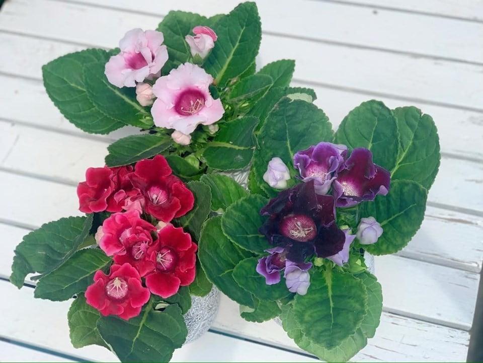 Gloxinia, sinningia - Floraria Trias 2