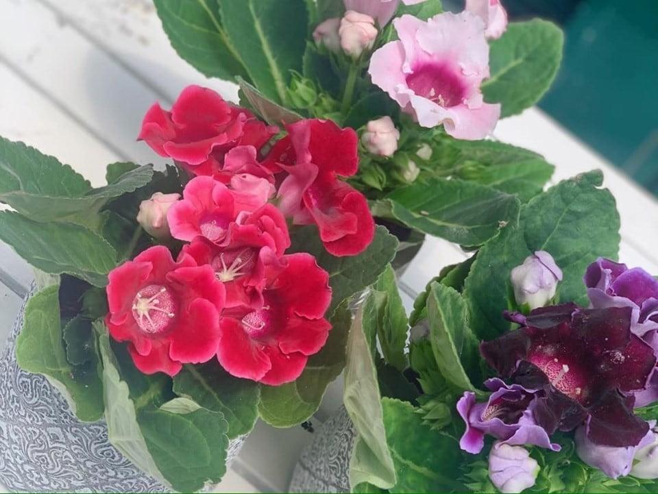 Gloxinia, sinningia - Floraria Trias 4