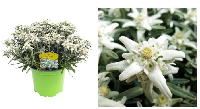 floarea de colt 1