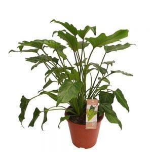 Philodendron - Xanadu