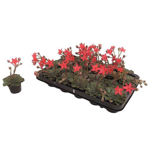 Echeveria Graptopetalum Bellum cu floare