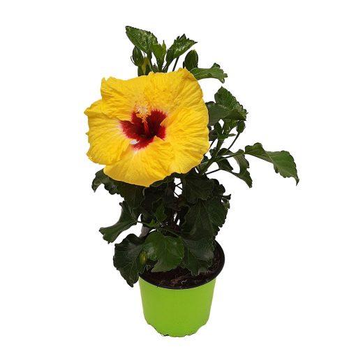 Hibiscus Grecia D 13