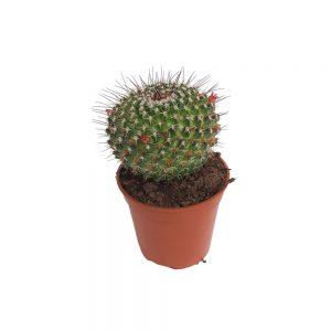 Cactus Mamilaria
