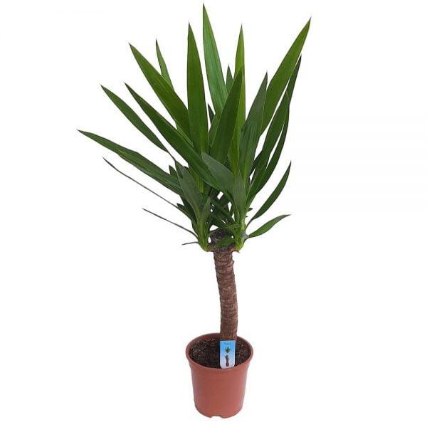 Yucca 1 tulpina XXL