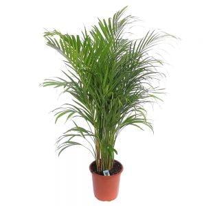 Chrysalidocarpus - Areca
