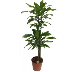 Dracaena yellow coast 2 tulipini