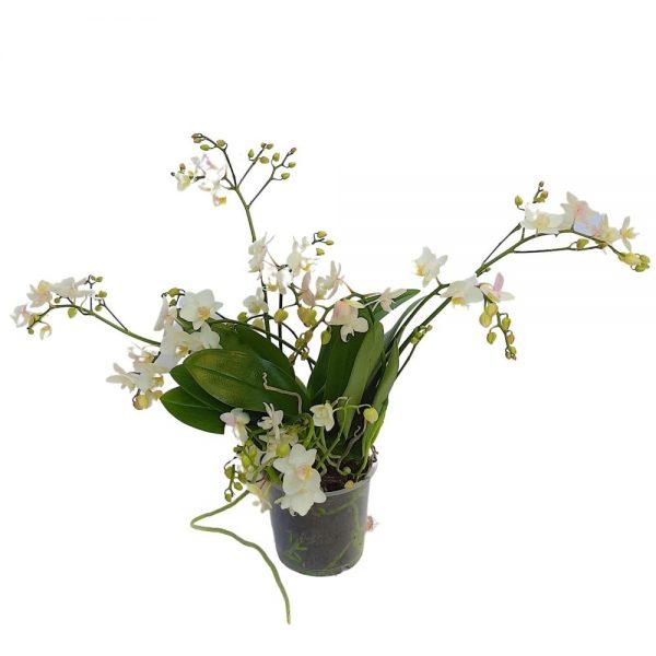 Phalaenopsis - Orhidee - 2 plante