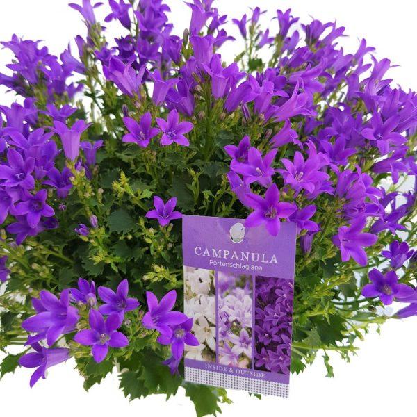 Campanula maxi - floarea clopotel