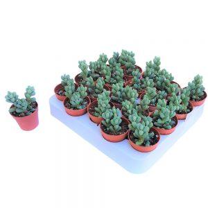 Lithops - Lithodora Diffusa