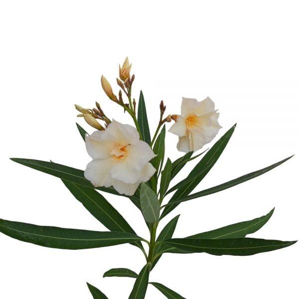 Nerium Leandru Grecia