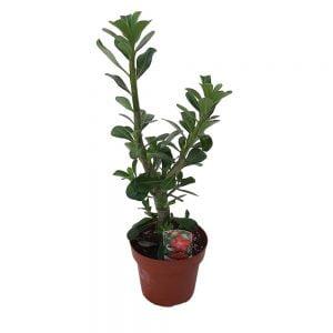 Adenium obesum fara floare