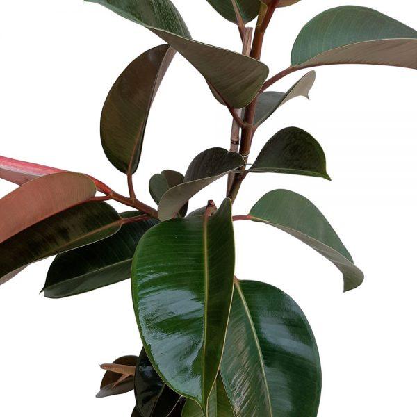 Ficus Robusta Grecia