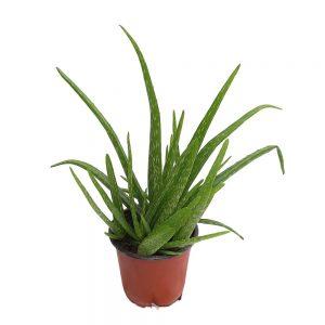 Aloe vera - Grecia