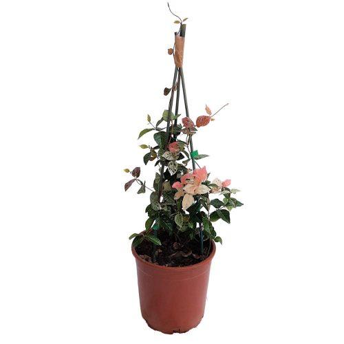 Trachelospermum -Iasomie Tricolor Grecia
