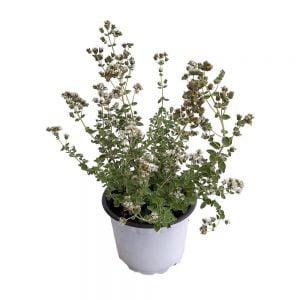 Oregano planta aromatica Grecia