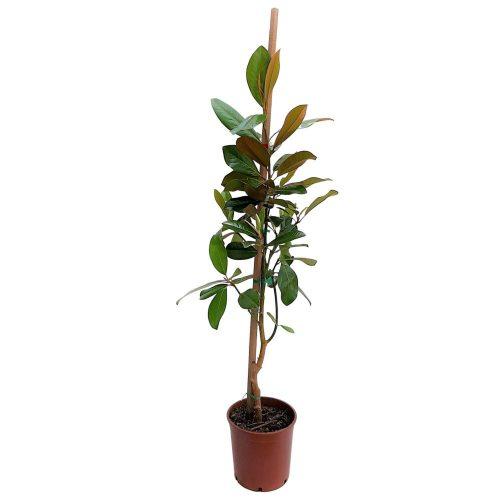 Magnolia Grandiflora Grecia