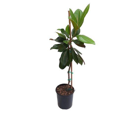 Magnolia Grandiflora Grecia 90-110 cm