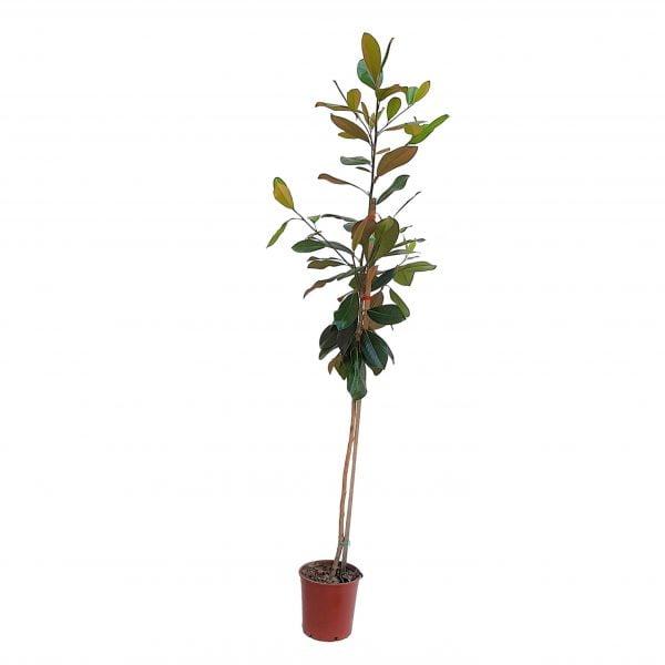 Magnolia Grandiflora Grecia 220 cm