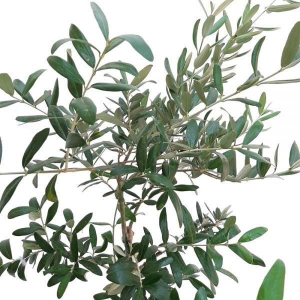 Maslin mediu pe picior - Grecia - Olea Europaea