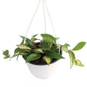 Hoya Tricolor Bol