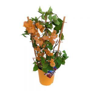 Bougainvillea Dania -Floare de hartie