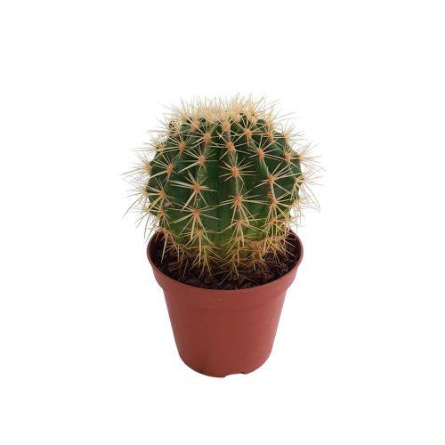 Echinocatus- Perna soacrei D 13