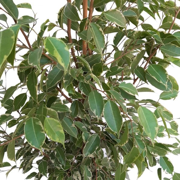 Ficus Benjamin Bicolor Golden King