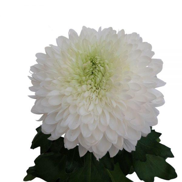 Crizantema Zembla mica