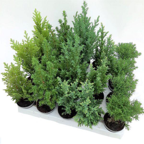 Conifere mini mixte