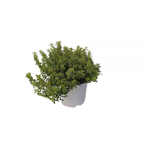 Thymus bicolor-Cimbrisor Grecia D 12