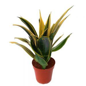 Sansevieria Yellow Stripe Bicolor