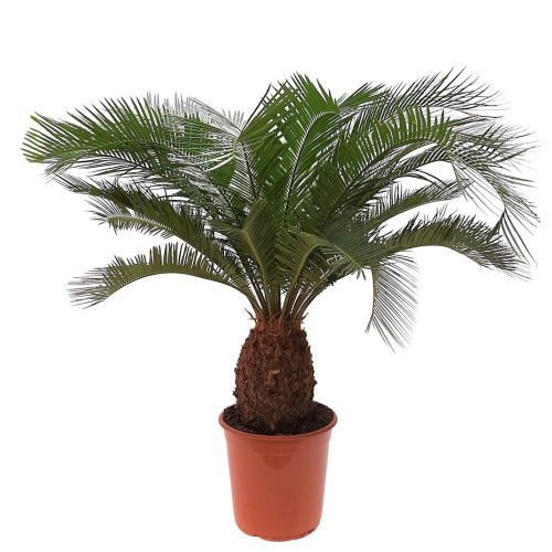 Cycas revoluta - palmier exotic 110 cm