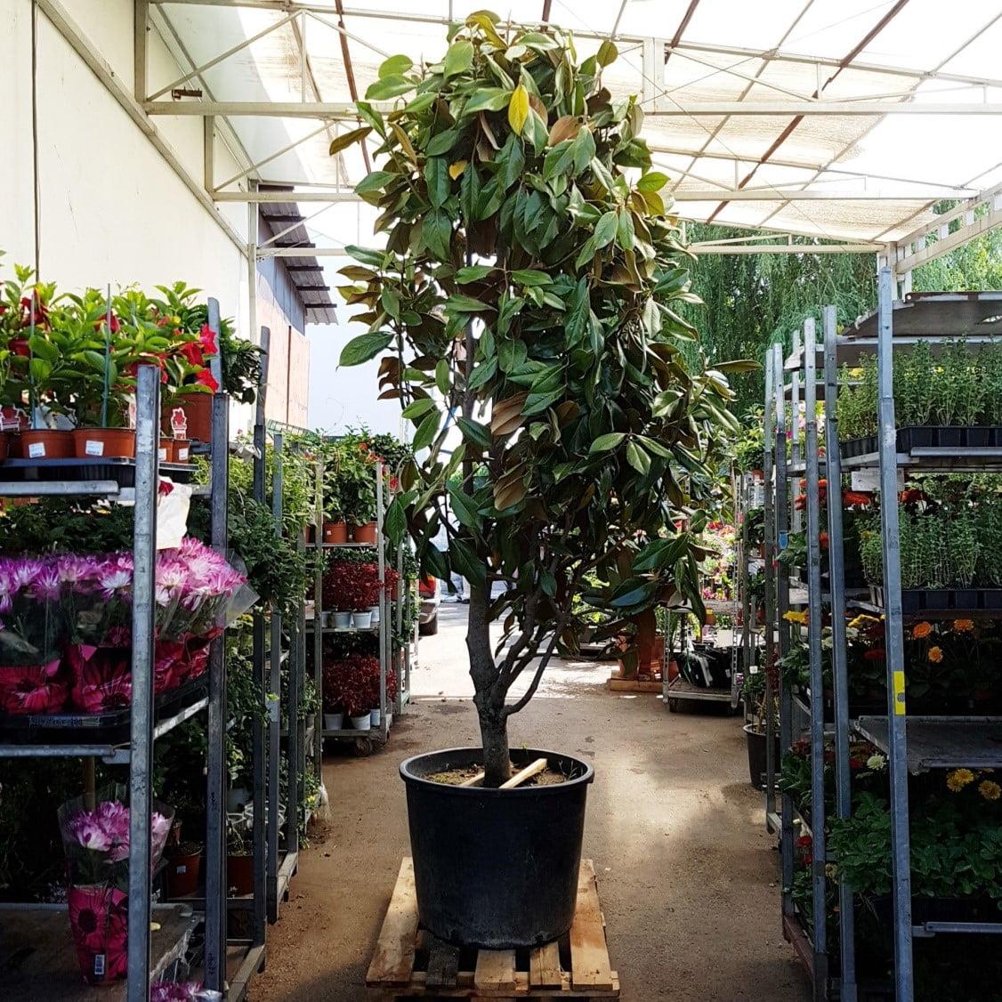 magnolia grandiflora 3