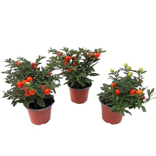 Solanum D9