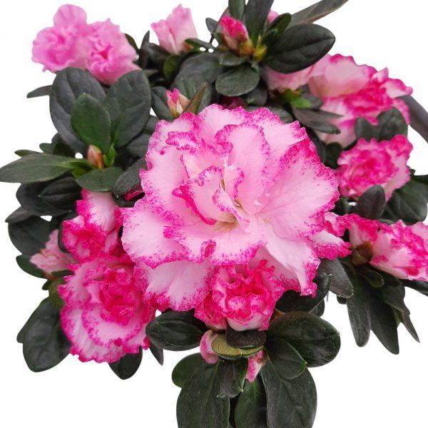 Rhododendron Azalee D 11
