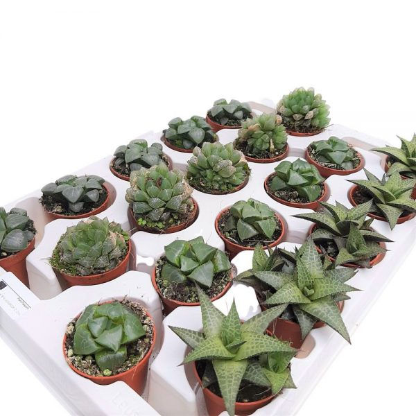 Haworthia Limifolia Mini
