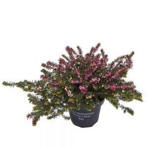 Erica darleyensis - Green