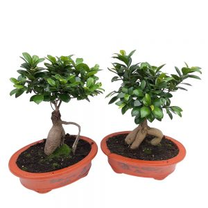 Bonsai Ficus Ginseng in ghiveci de ceramica oval D 26